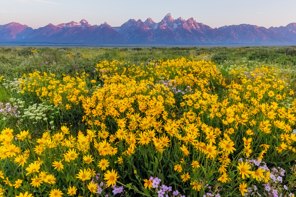 Wildflowers in sagebrush meadows in Grand Teton National Park, Wyoming, USA
