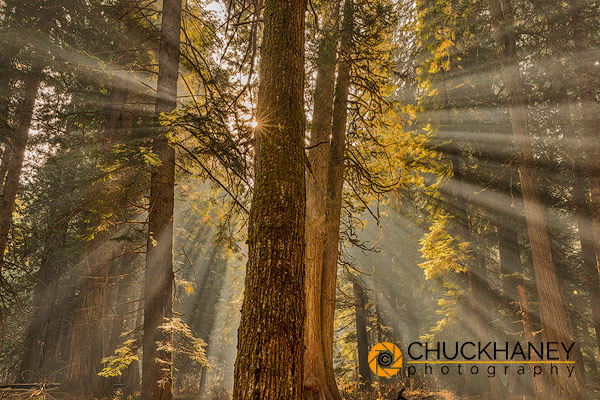 Sun rays penetrate the forest floor at Ross Creek Cedar Grove in the Kootenai National Forest, Montana, USA