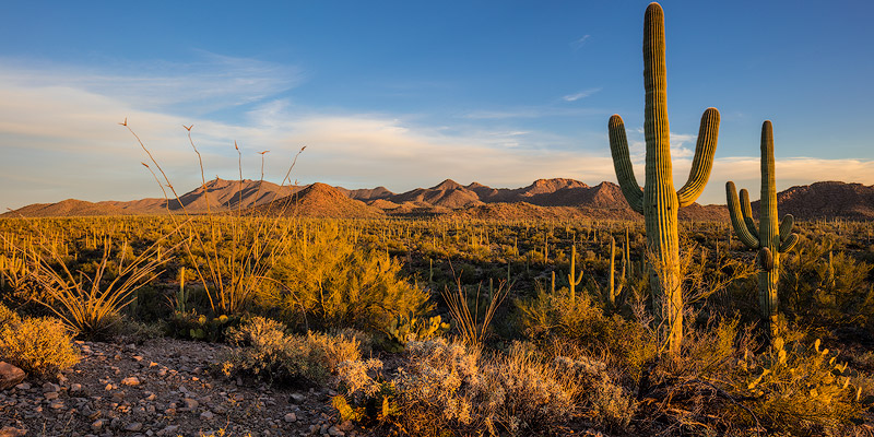 Saguaro cactus dominate the landscape at Saguaro National Park in Tucson, Arizona, USA