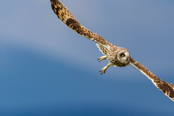 Short eared owl at Ninepipe WMA near Ronan, Montana