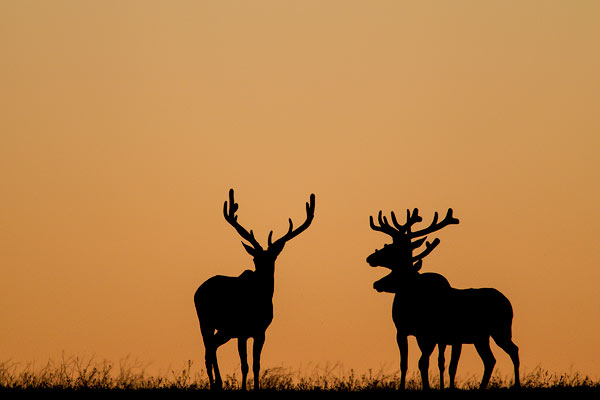 Bull elk silhouetted aginst the sunrise in Theodore Roosevelt National Park, North Dakota, USA