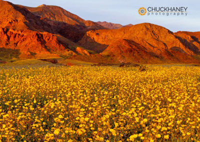 Vast Field of Desert Gold Wildflowers