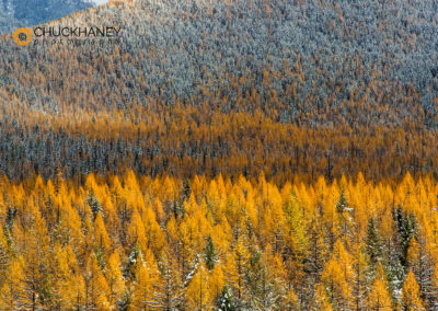 Larch Autumn Snow