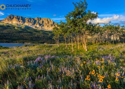 Prairie wildflowers in meadow in Glacier National Park, Montana, USA