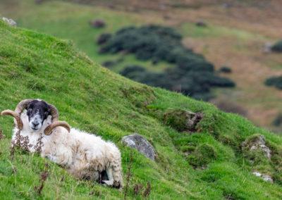 Lanard blackface ram on the Fanad Peninsula, Ireland