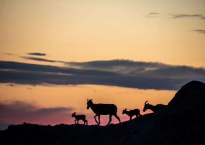Bighorns-Badlands, South Dakota ©Chuck Haney