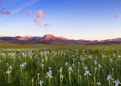 Wild iris wildflowers in grasslands along the Rocky Mountain Front near Choteau, Montana, USA
