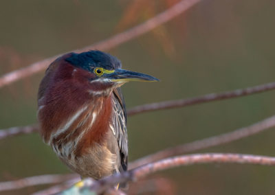 Little Green Heron in Everglades National Park, Florida, USA