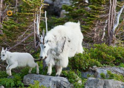 Glacier Park Mountain Goats