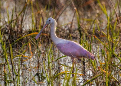 Roseate Spoonbill in Everglades National Park, Florida, USA
