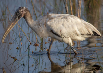 Wood Stork in Everglades National Park, Florida, USA
