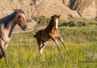 Wild horses in Theodore Roosevelt National Park, North Dakota, USA