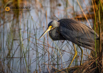 Triclored heron in Everglades National Park, Florida, USA